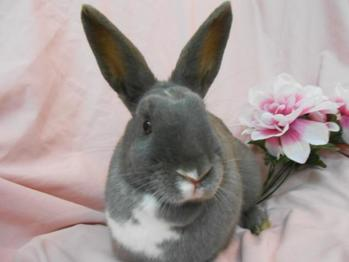 Sweet friendly Alessandra, a gray and white domestic pet rabbit rescued by us