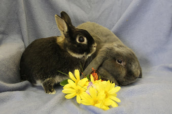 Two more rescued rabbit alums from Midwest Rabbit Rescue