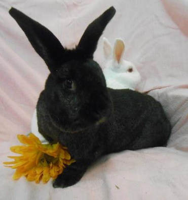 One of our rescued domestic pet rabbit bonded couples