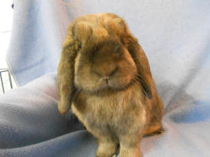 Brown lop eared rabbit rescued at Midwest Rabbit Rescue
