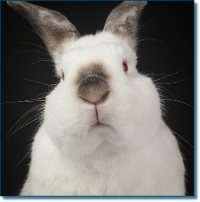 Domestic pet rabbit close up